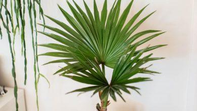 palmeira chinesa