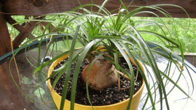 palmeira rabo de cavalo cultivo