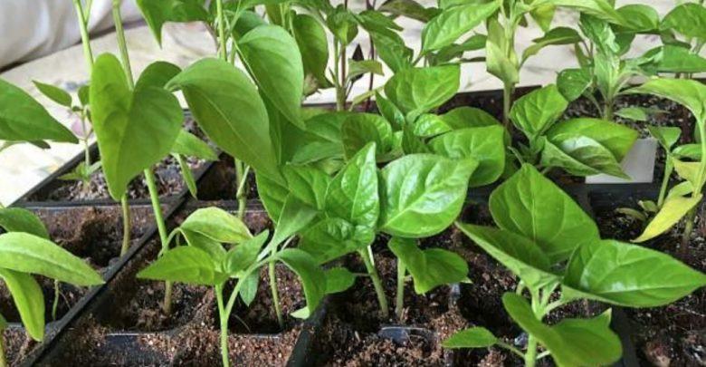pimenta calabresa como plantar