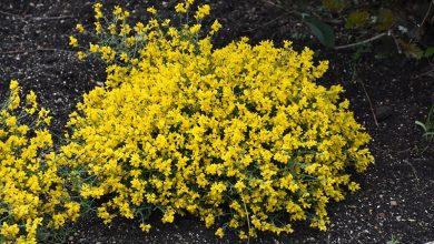 planta da vassoura cultivo