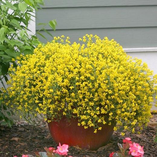planta da vassoura em vasos