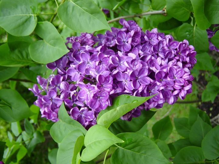 plantar arbustos lilas