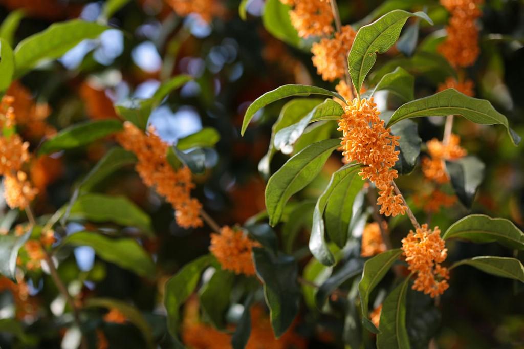 plantar azeitona doce