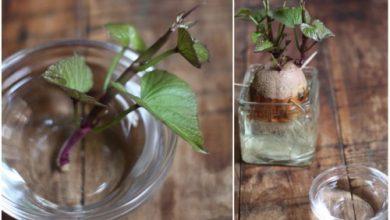 plantar batata doce na agua
