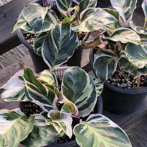 plantar calathea