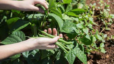 plantar feijao na terra