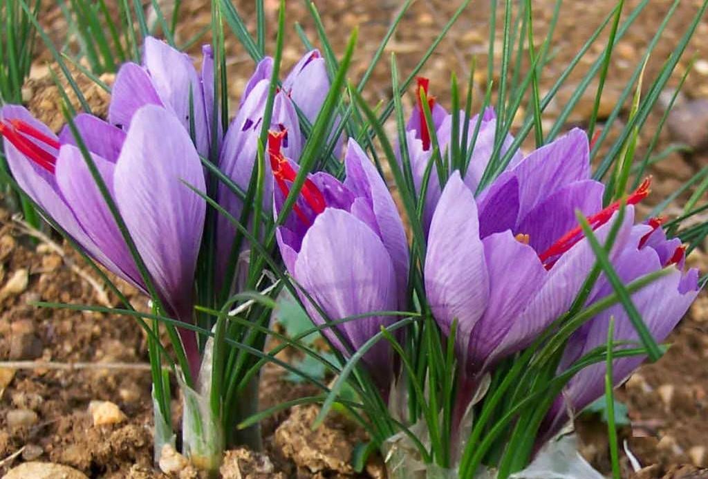 plantar flor de açafrao em casa