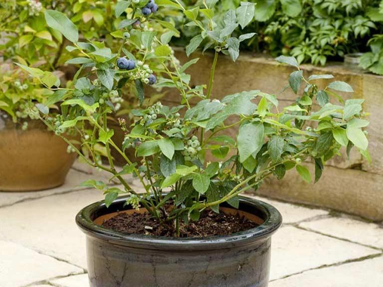 plantar mirtilos em casa