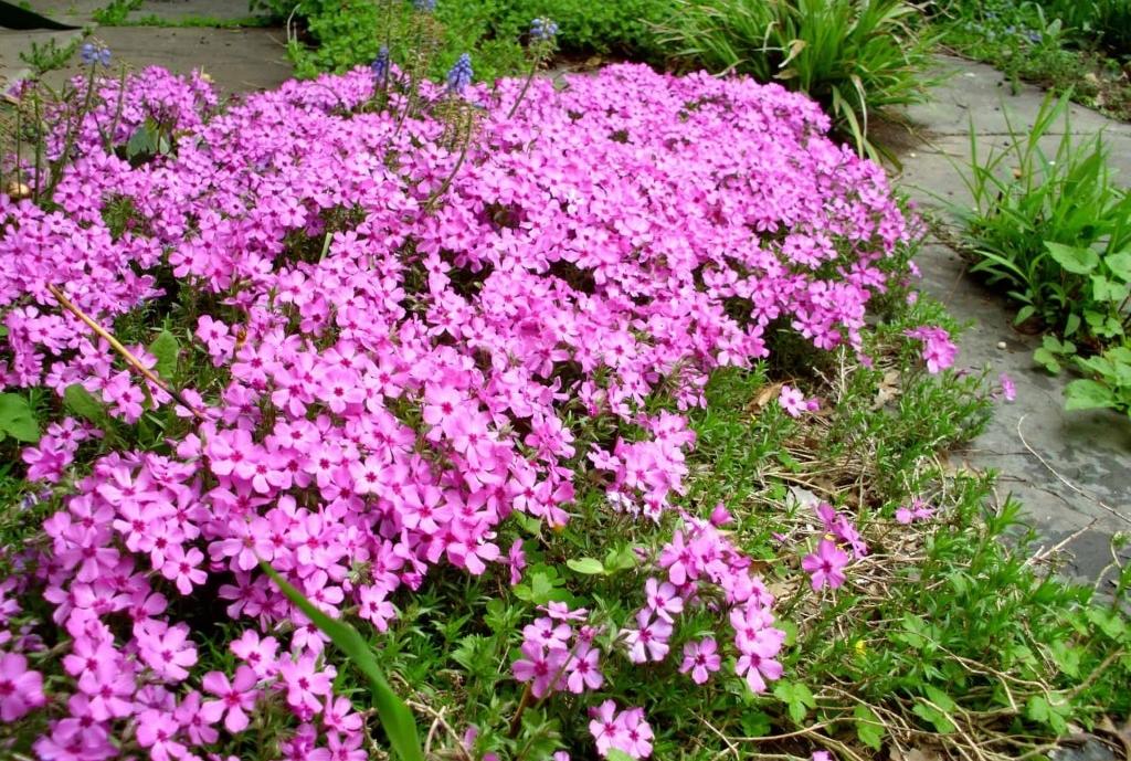 plantar musgo rosa em casa