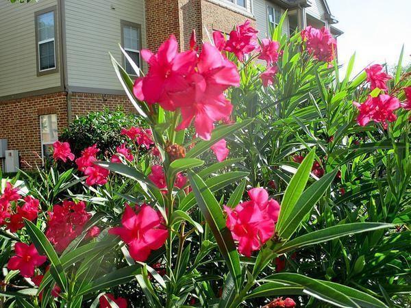 plantar oleandro em casa