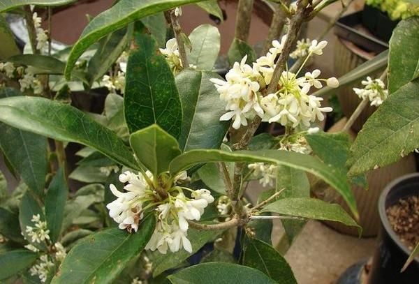 plantar osmanthus em casa