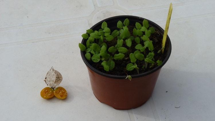 plantar physalis em casa