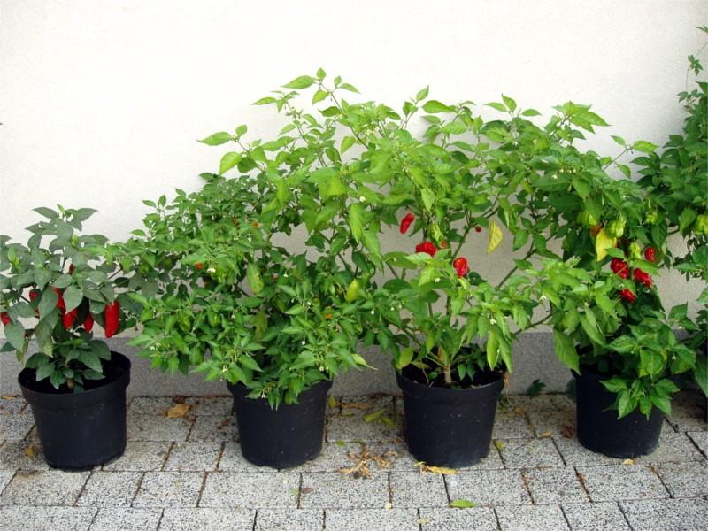 plantar pimentao