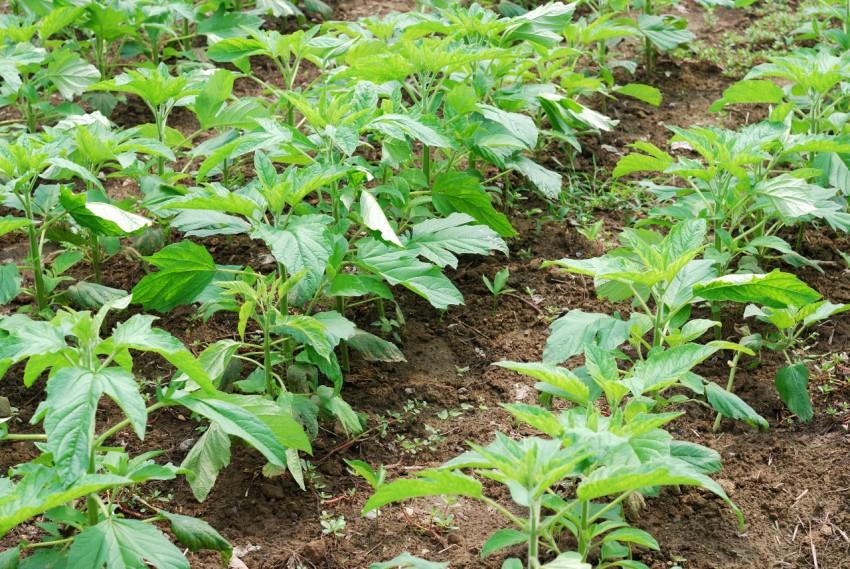 plantar plantas de gergelim