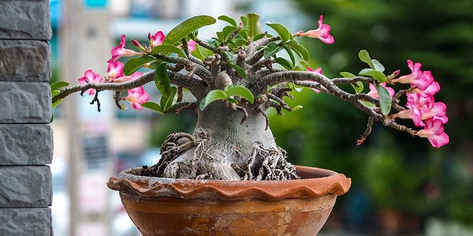 plantar rosa do deserto