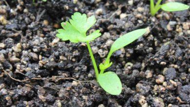 plantar salsinha