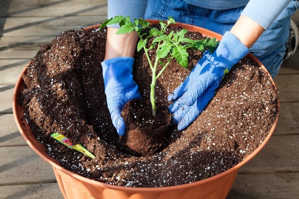 plantar tomate reliquia