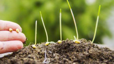 plantar trigo