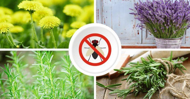 plantas aromaticas que repelem moscas da sua horta