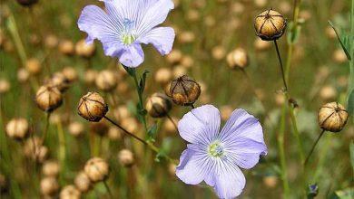 plantas de linho