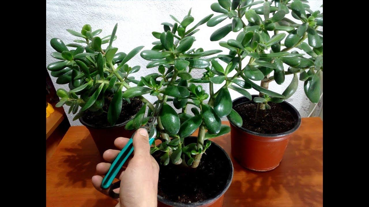 podar planta de jade
