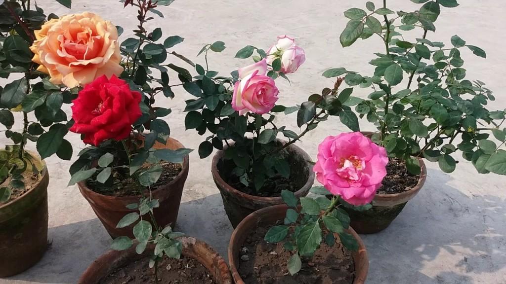 rosa como plantar