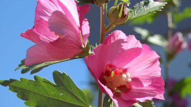 rosa de sharon