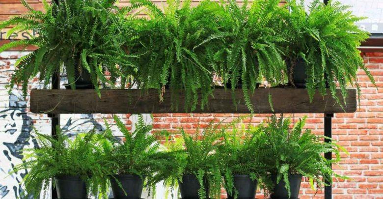 samambaia como plantar