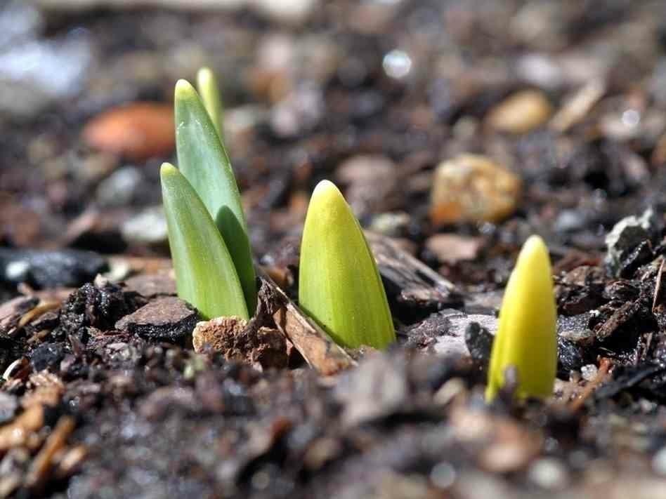 tulipas como plantar