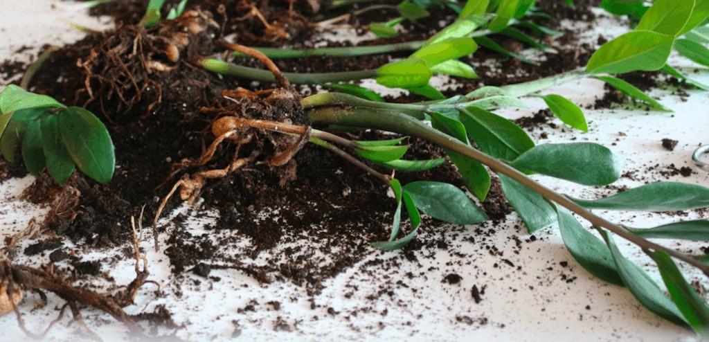 zamioculca como plantar