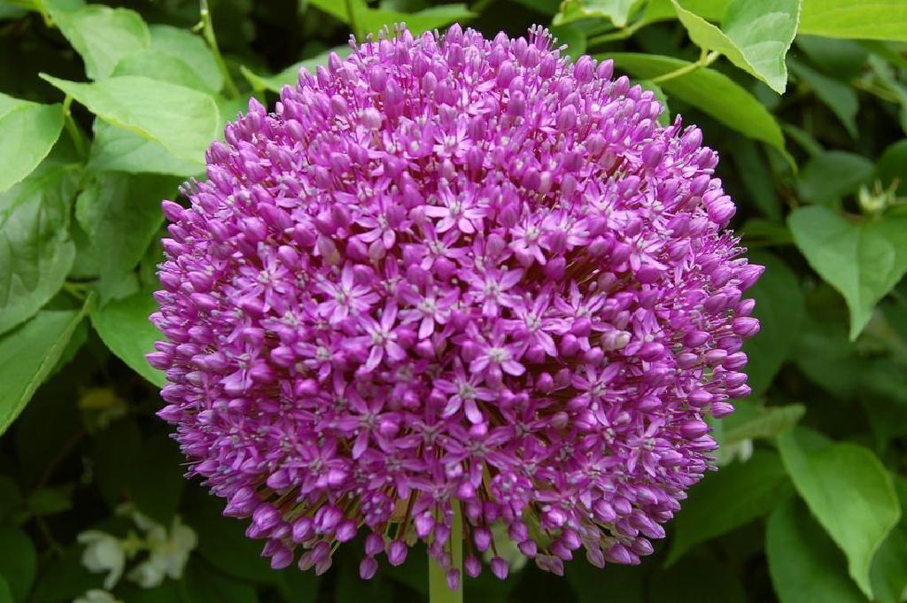 Ambassador Allium