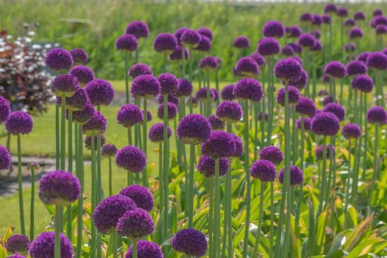 Como Plantar Ambassador Allium