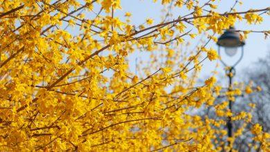 Como Plantar Arbustos Forsitia