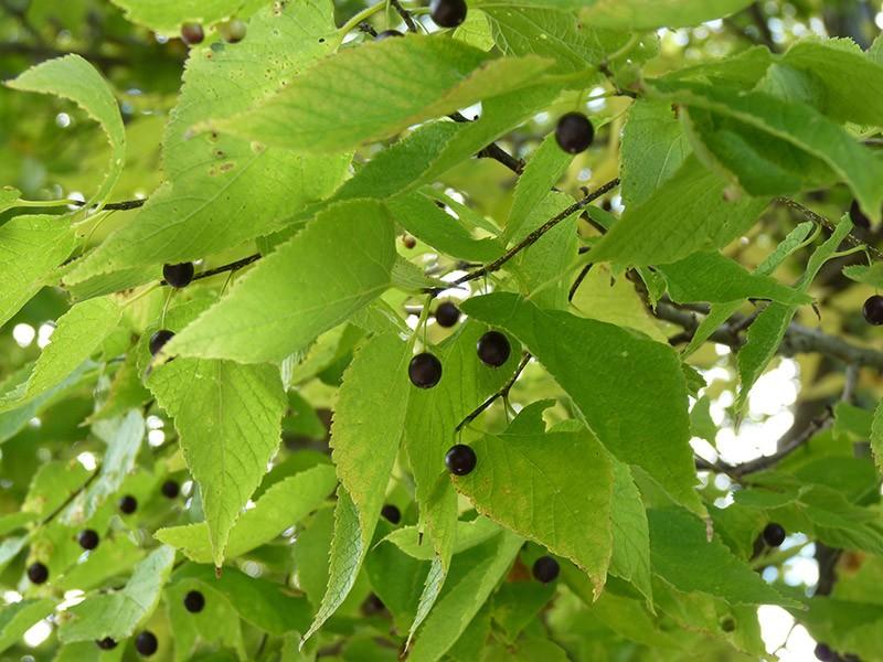 Como Plantar Árvore de Hackberry
