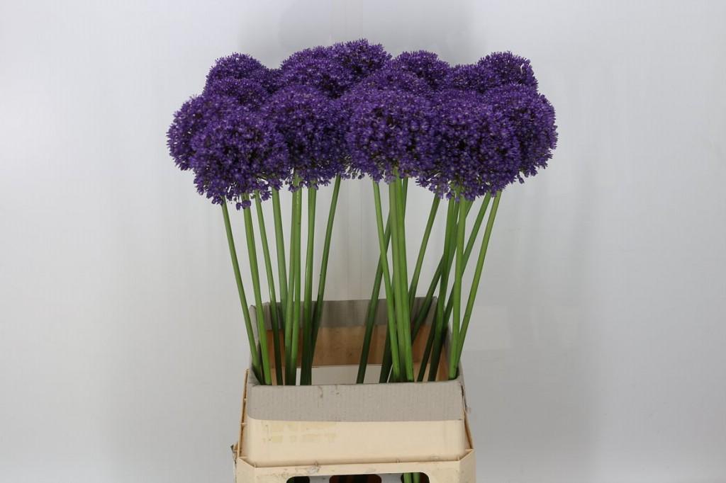 Como cultivar ambassador Allium