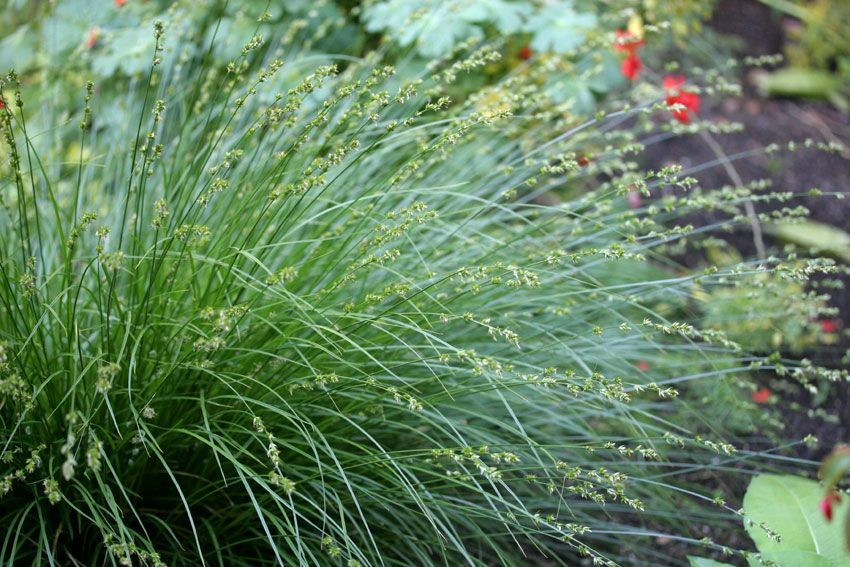 Foothill Sedge como plantar