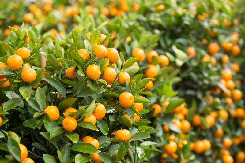 Kumquat como plantar