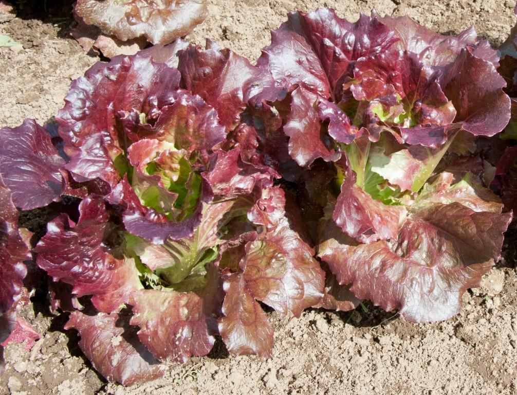 alface roxo como plantar