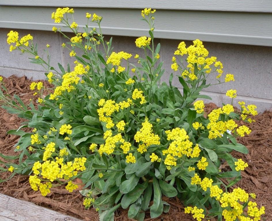 alyssum amarelo como plantar