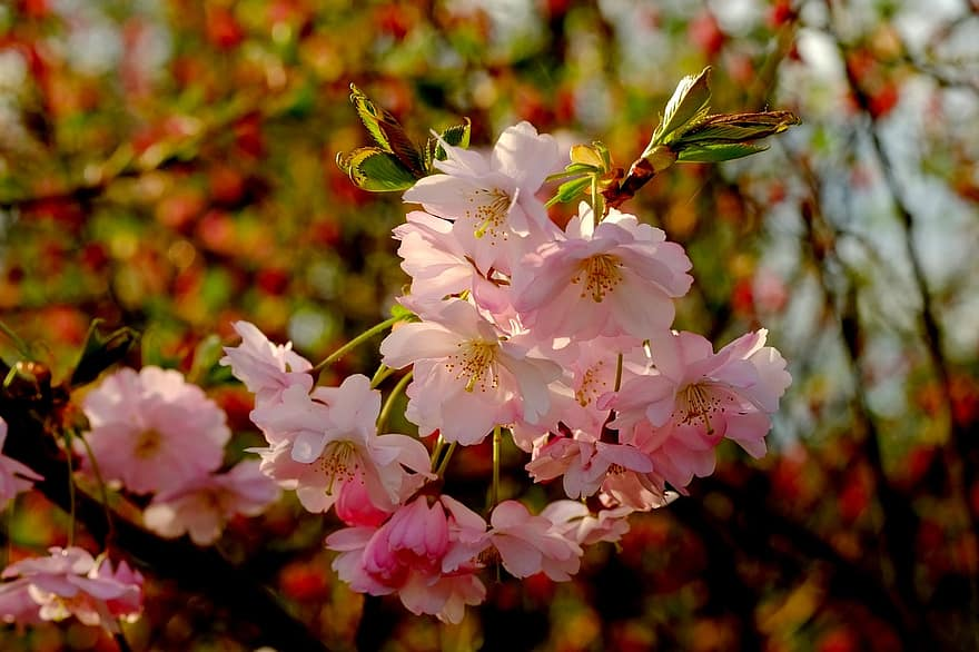 arbusto de cereja