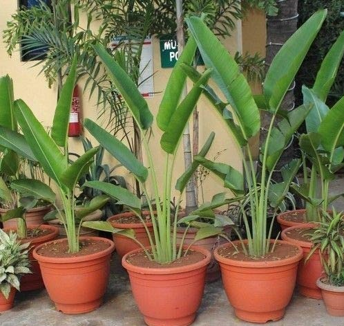 arvore do viajante como plantar