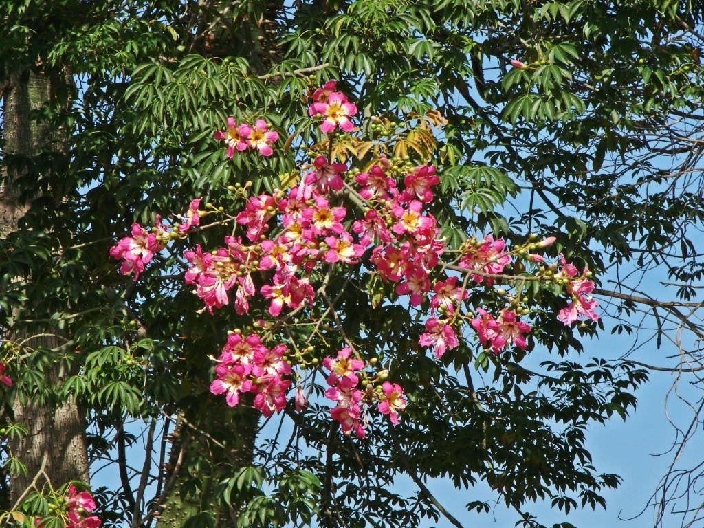 árvore fio de seda como plantar