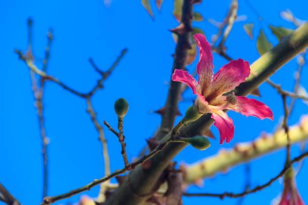 árvore fio de seda