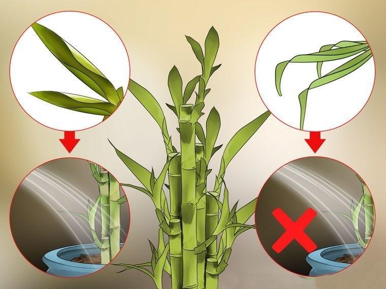 bambu da sorte como plantar