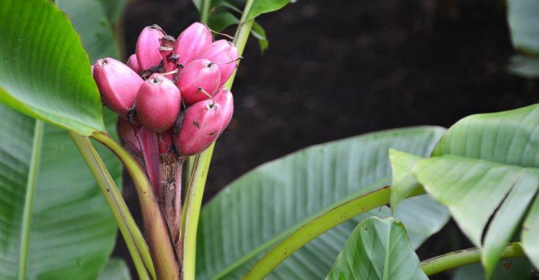 bananeiras de veludo rosa