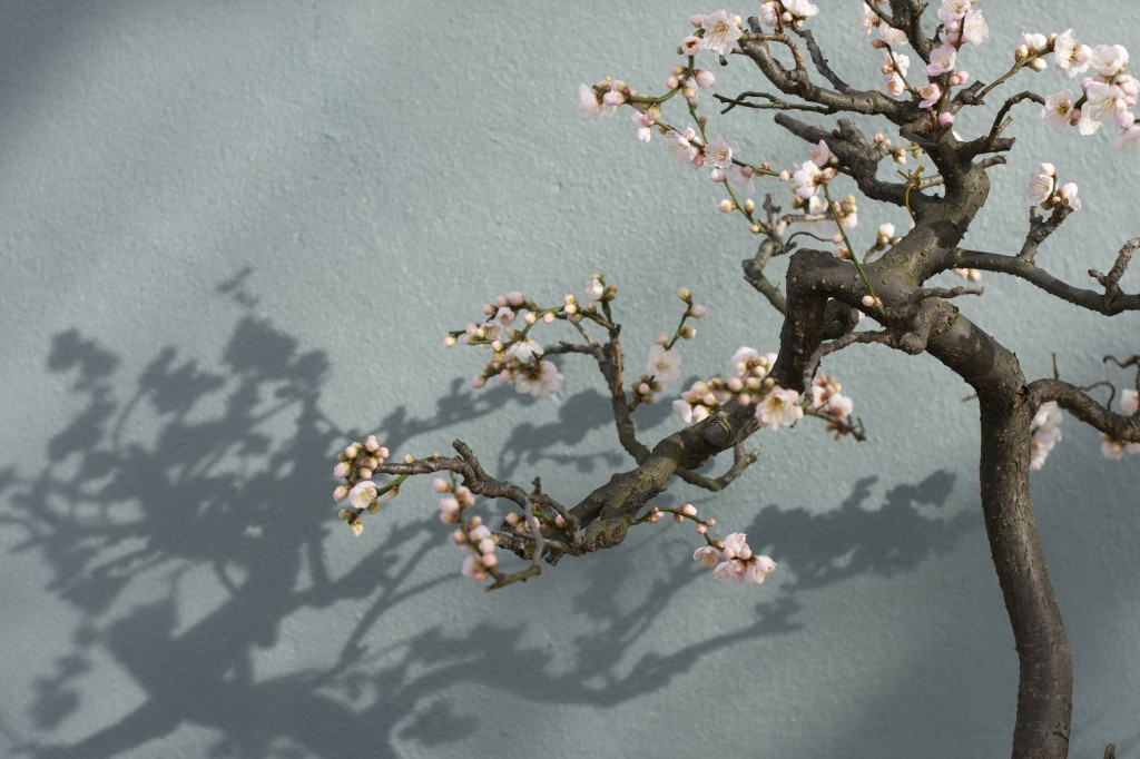 bonsai da cerejeira como plantar