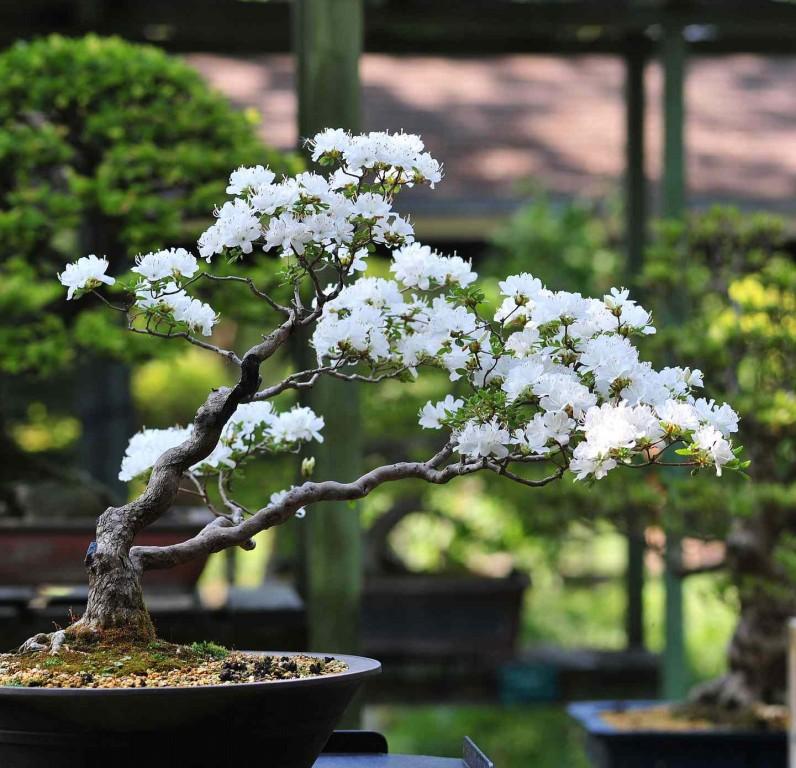 bonsai da cerejeira