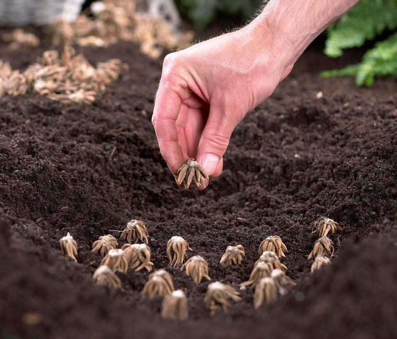 bulbos de fresia como plantar