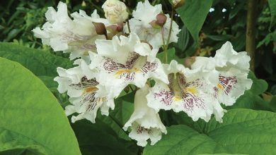catalpa ocidental