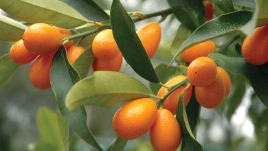como plantar Kumquat